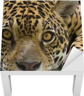 Kameraya bakarak büyük kedi jaguar