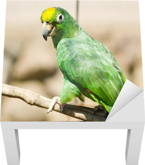 Yellow-naped Amazon Parrot (Amazona auropalliata)