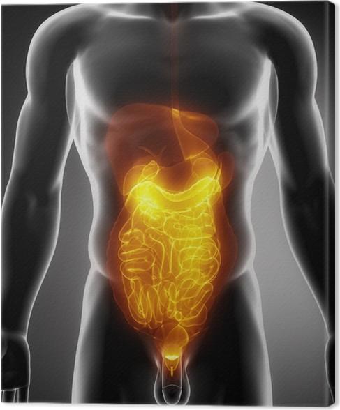 Leinwandbild Anatomie der Bauch • Pixers® - Wir leben, um zu verändern