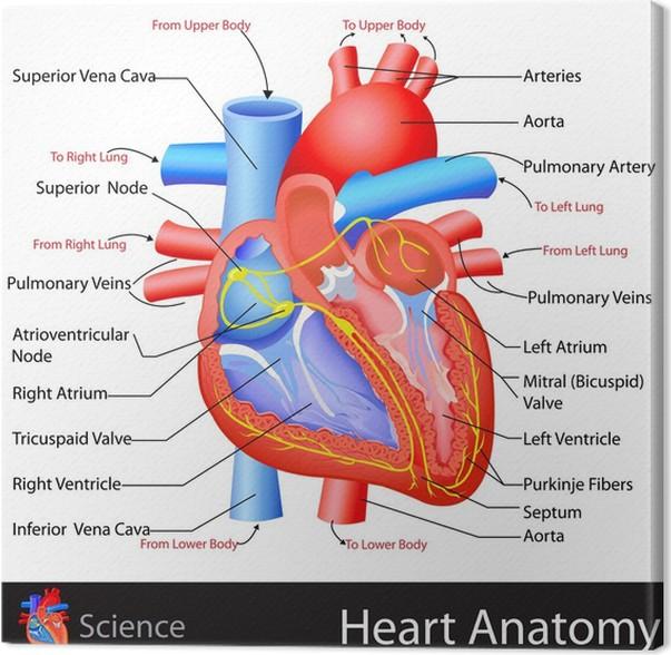 Leinwandbild Anatomie des Herzens • Pixers® - Wir leben, um zu verändern
