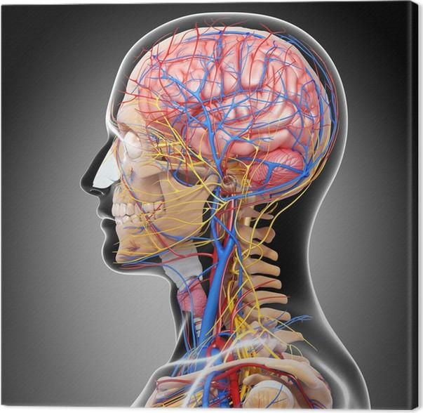 Leinwandbild Anatomie des Kreislaufsystems und des Nervensystems mit ...