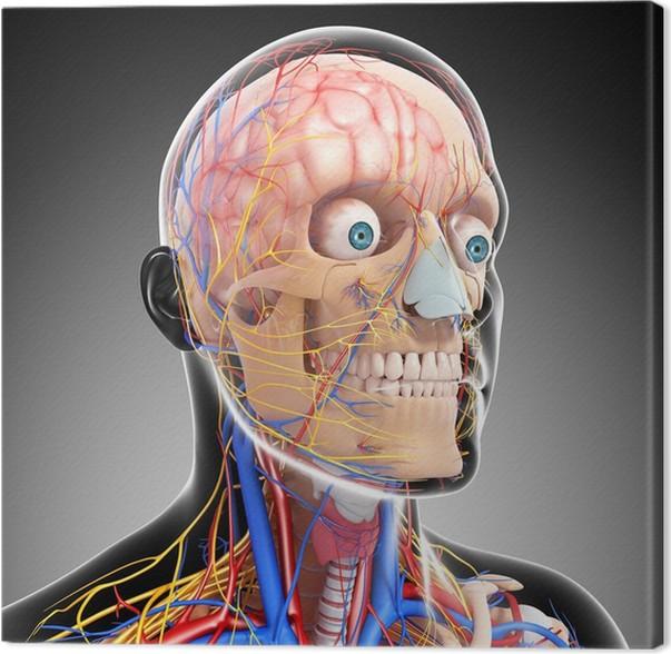 Leinwandbild Anatomie des Kreislaufsystems und des Nervensystems ...