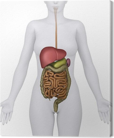 Leinwandbild Anatomie des weiblichen Verdauungssystem Organe ...
