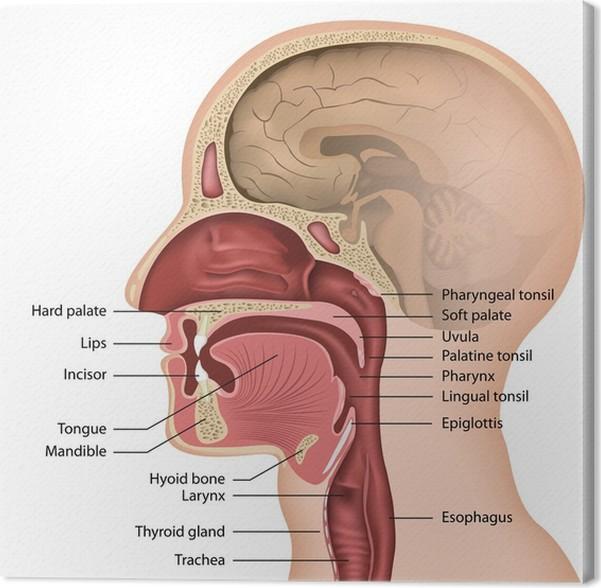 Leinwandbild Anatomie Mund und Rachen, Englisch Beschreibung ...