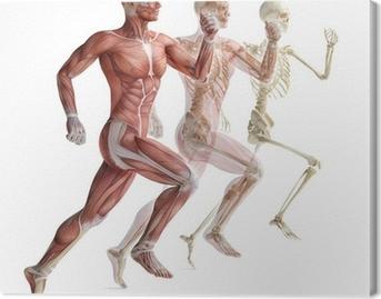 Leinwandbild Anatomie, Muskulatur