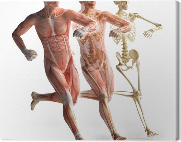 Leinwandbild Anatomie, Muskulatur • Pixers® - Wir leben, um zu verändern