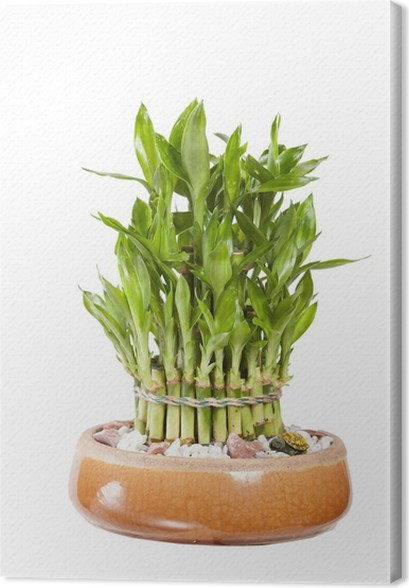 Leinwandbild Bambus Im Topf Pixers Wir Leben Um Zu Verandern