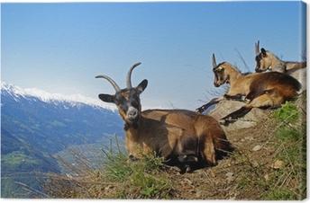 Leinwandbild Bergziege / Südtirol 1