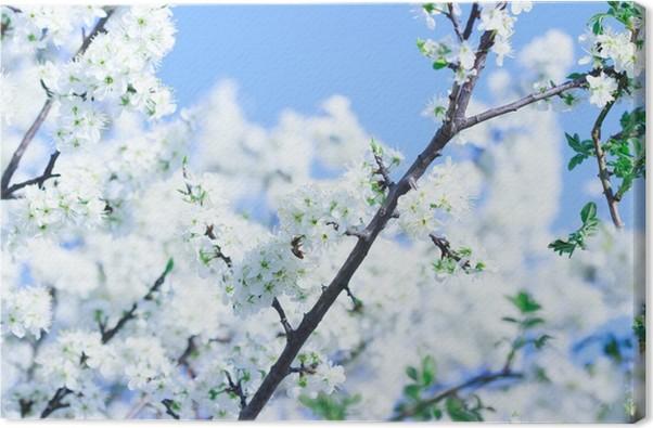 Leinwandbild Blühender Baum mit weißen Blüten im Frühjahr • Pixers ...