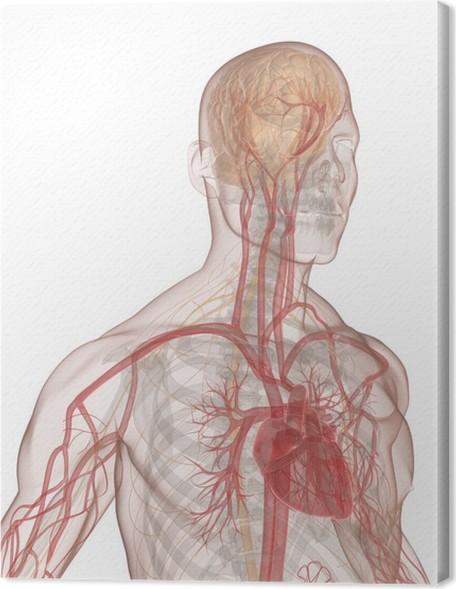 Leinwandbild Blutkreislauf und Nervensystem des menschen • Pixers ...