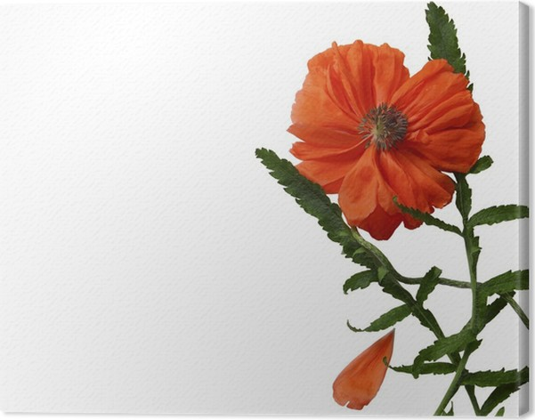 Leinwandbild Dekorative Mohn Blume auf einem weißen Hintergrund ...