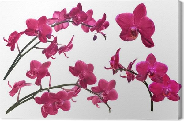 Leinwandbild Dunkelrote Orchidee Blüht Sammlung Isoliert Auf Weißem