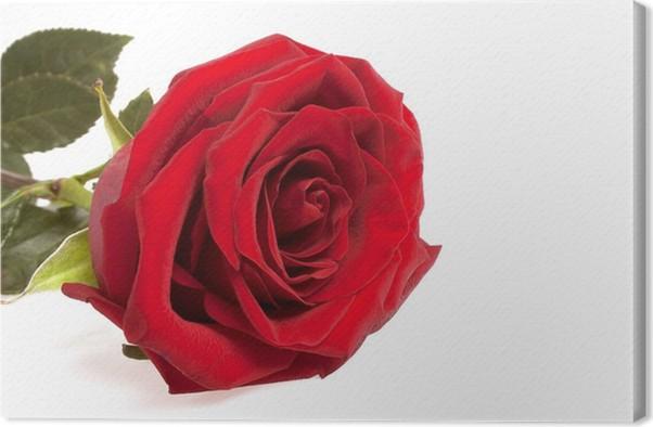 Leinwandbild Einzelne rote Rose Blume isoliert auf einem weißen ...