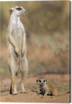 Leinwandbild Erdmännchen mit Baby neugierig, Kalahari-Wüste