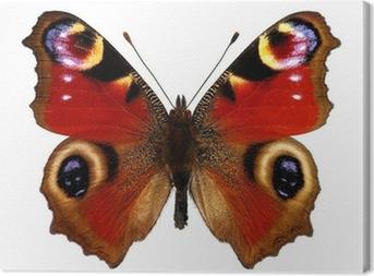 Leinwandbild European Peacock butterfly (Tagpfauenauge)