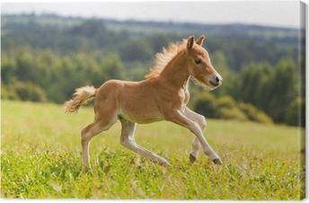 Leinwandbild Falabella Mini-Pferd Fohlen