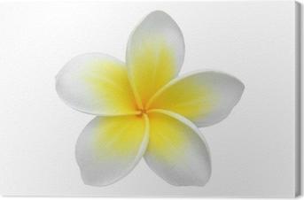 Leinwandbild Frangipani (plumeria) flower isoliert auf weiß