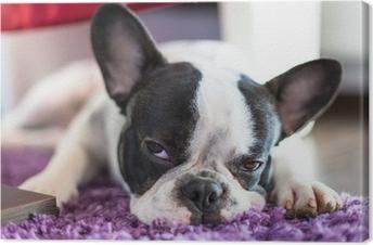 Leinwandbild Französisch Bulldogge schlafen auf dem Teppich