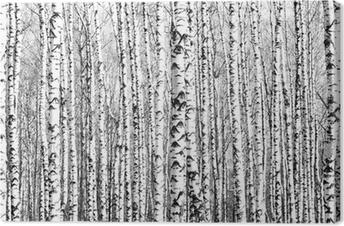 Leinwandbild Frühling Birkenstämme schwarz und weiß