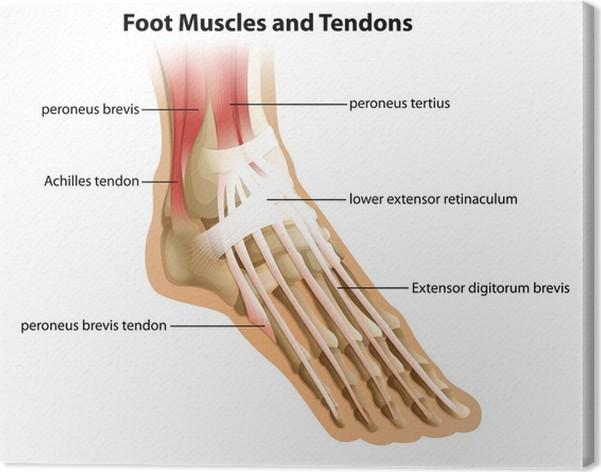 Leinwandbild Fuß Muskeln und Sehnen • Pixers® - Wir leben, um zu ...