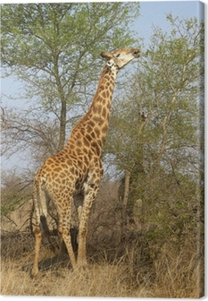 Leinwandbild Giraffe Feeding
