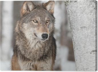 Leinwandbild Grauer Wolf (Canis lupus) von Birke
