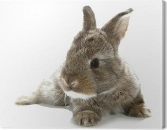 Leinwandbild Gray rabbit Hase Baby auf weißem Hintergrund isoliert