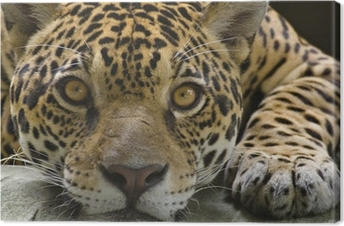 Leinwandbild Große Katze Jaguar, der die Kamera