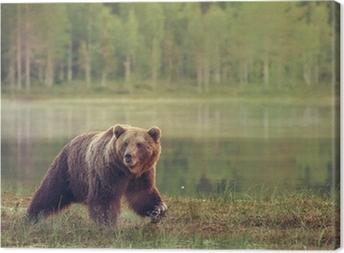 Leinwandbild Großer männlicher Bär, der im Moor bei Sonnenuntergang