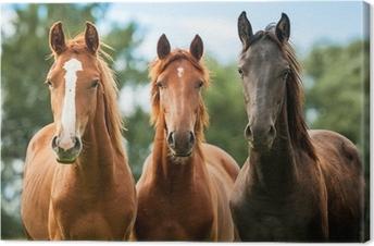 Leinwandbild Gruppe von drei jungen Pferden auf der Weide