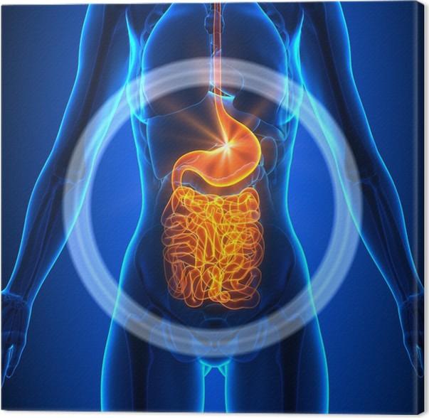Leinwandbild Guts - Weibliche Organe - Human Anatomy • Pixers® - Wir ...