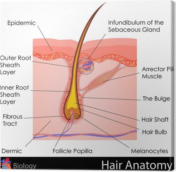 Leinwandbild Haar-Anatomie • Pixers® - Wir leben, um zu verändern