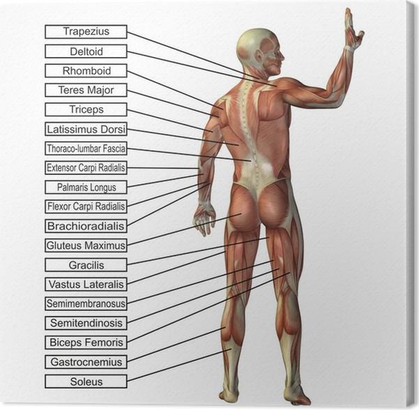 Leinwandbild Hohe Auflösung konzeptionelle 3D menschlichen Anatomie ...
