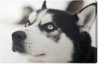 Leinwandbild Husky Porträt