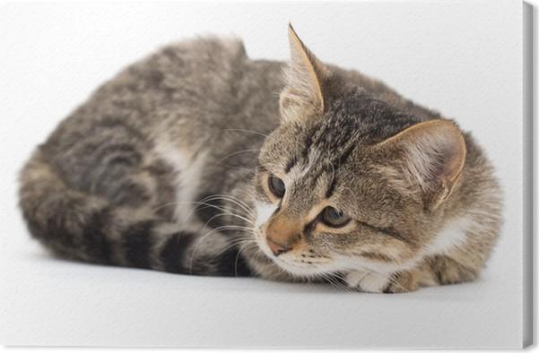 leinwandbild katze auf einem wei en hintergrund pixers wir leben um zu ver ndern. Black Bedroom Furniture Sets. Home Design Ideas