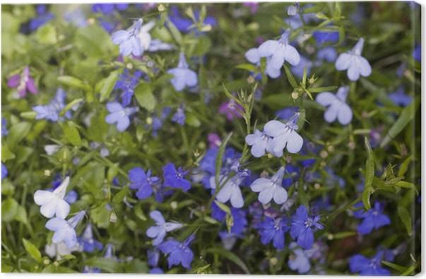 Leinwandbild Kleine blaue und weiße Blumen, Hintergrund • Pixers ...