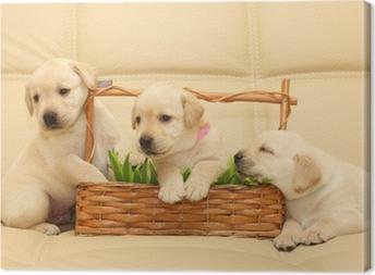 Leinwandbild Labrador puppies