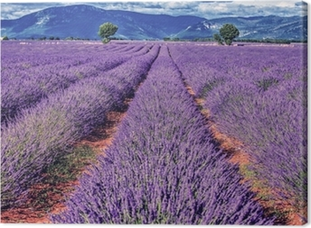 Leinwandbild Lavendelfeld