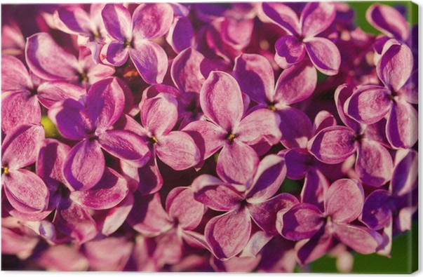 Leinwandbild Lila Blume Blütenbaum • Pixers® - Wir leben, um zu ...
