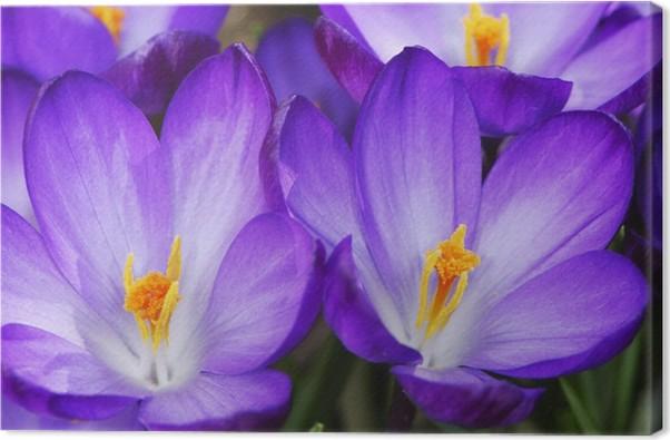 Leinwandbild Lila Crocus Blumen • Pixers® - Wir leben, um zu verändern