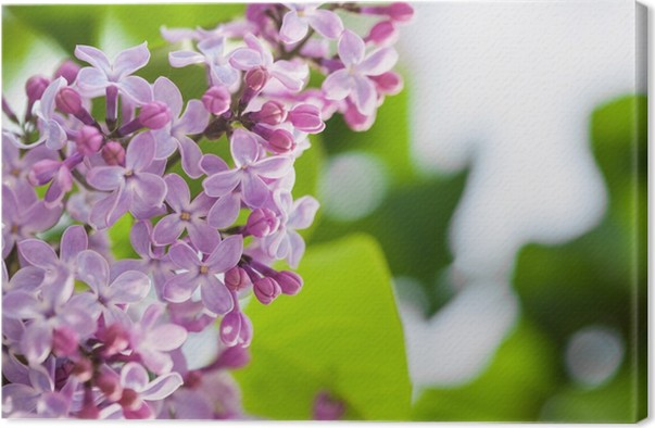 Leinwandbild Lila flowers • Pixers® - Wir leben, um zu verändern