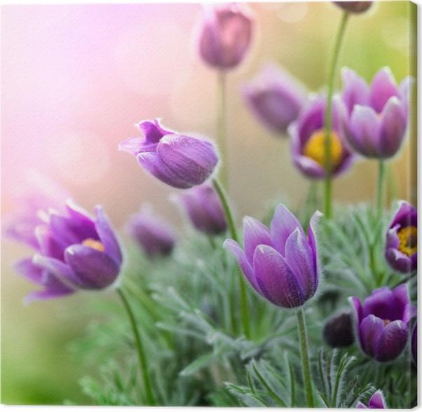 Leinwandbild Lila Frühlingsblumen • Pixers® - Wir leben, um zu verändern