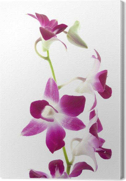 Leinwandbild Lila Orchidee auf weißem Hintergrund • Pixers® - Wir ...