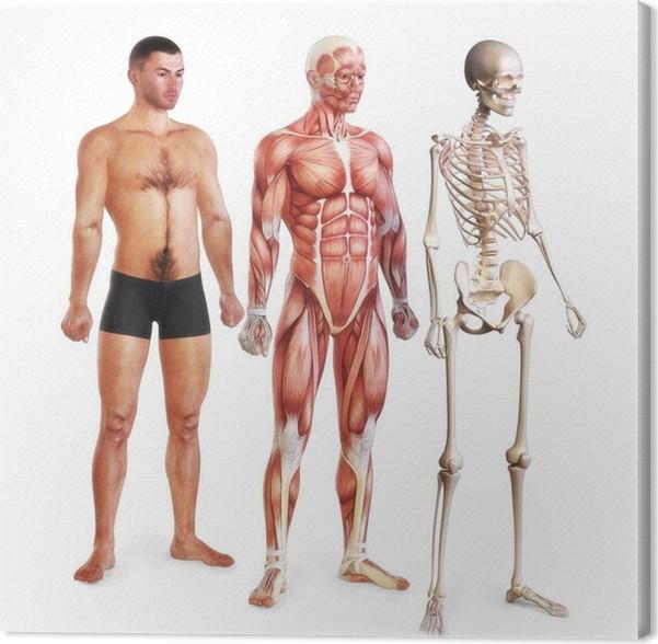 Leinwandbild Männliche Darstellung von Haut, Muskeln und Skelett ...