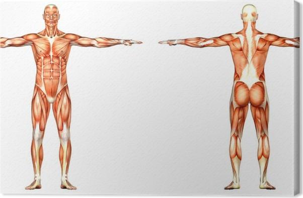 Leinwandbild Männliche menschlicher Körper-Anatomie - Vorder- und ...