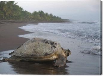 Leinwandbild Meeresschildkröte in Tortuguero National Park, Costa Rica