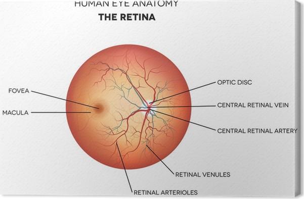 Leinwandbild Menschliche Auge Anatomie, Netzhaut • Pixers® - Wir ...