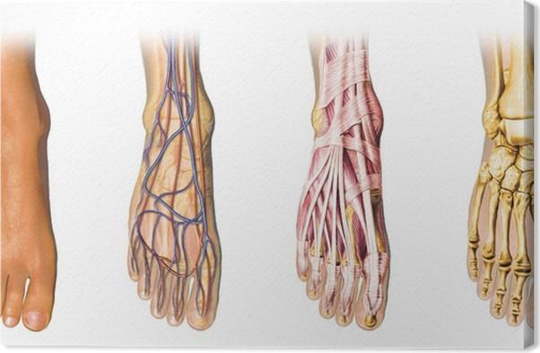 Leinwandbild Menschlicher Fuß Anatomie Querschnitte • Pixers® - Wir ...