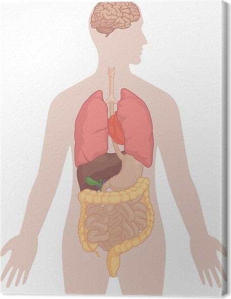 Leinwandbild Menschlicher Körper-Anatomie - Gehirn, Lunge, Herz ...