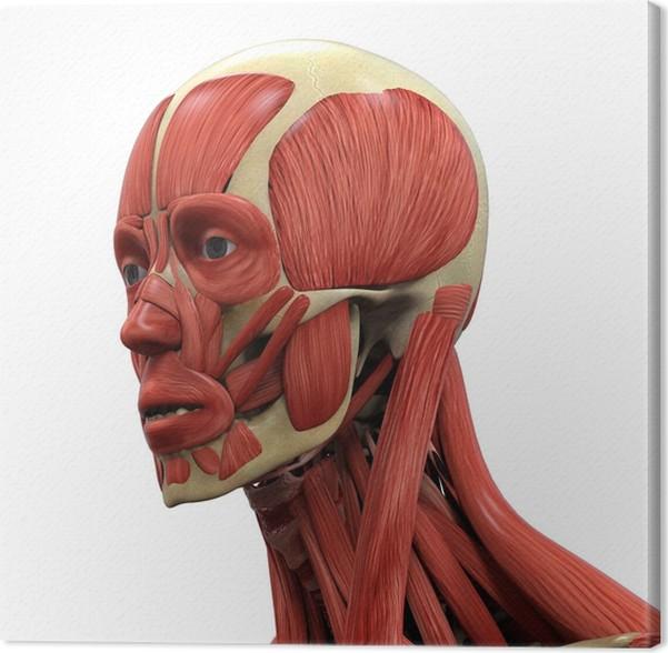Leinwandbild Menschliches Gesicht Anatomie • Pixers® - Wir leben, um ...